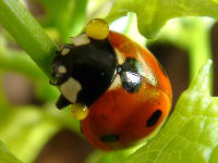Sevenspotted Lady Beetle with a yellow, bad tasting liquid secreted to deter predators