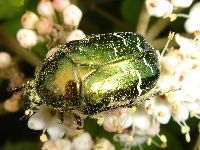 Cetonia aurata also called Rose Chafer covered with pollen.