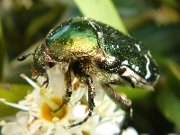 Cetonia aurata (Rose Chafer). Good view of the head and the hair on the bottom
