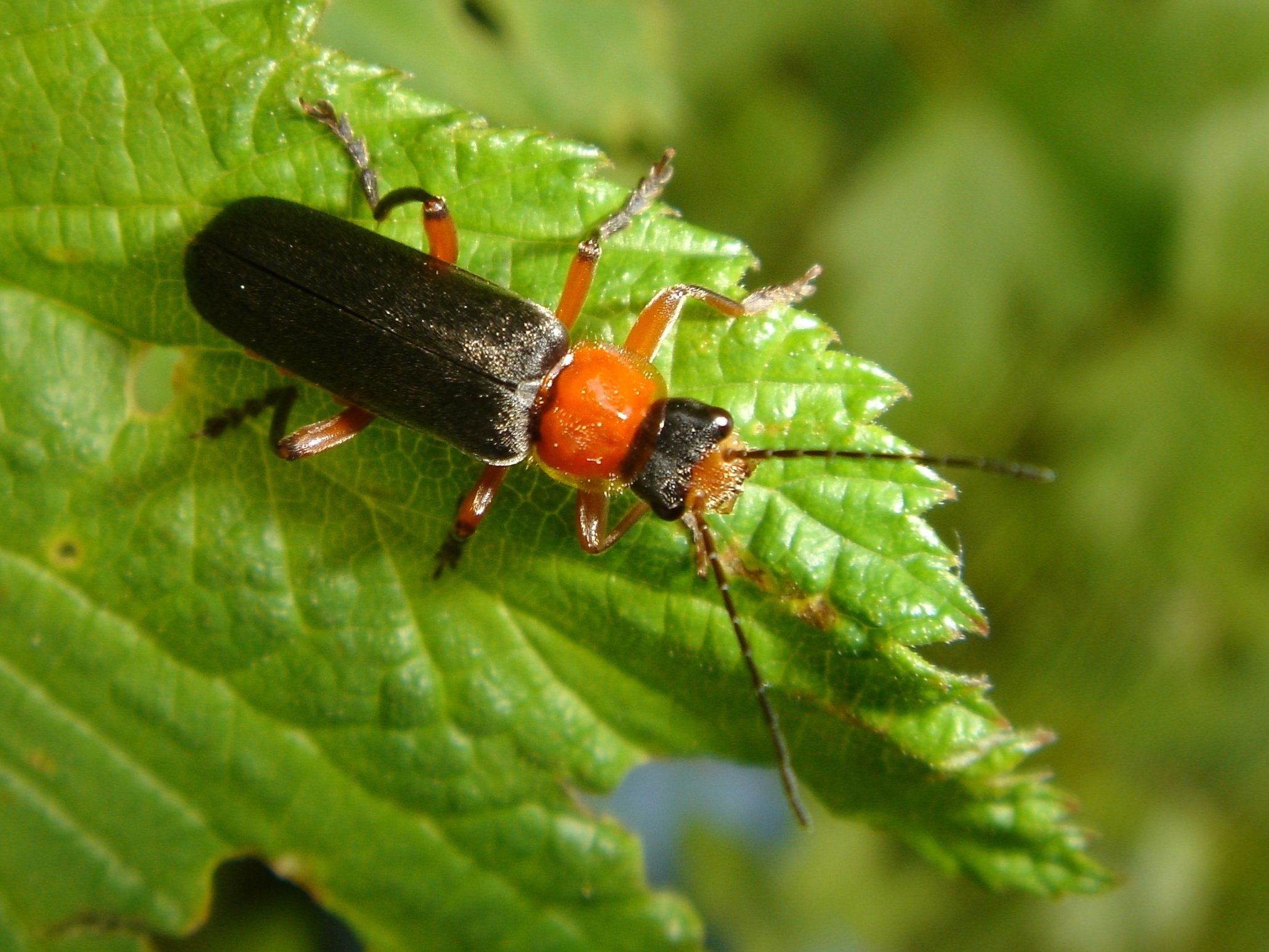 soldier beetle cantharidae chris schuster