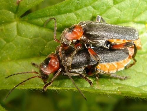 Cantharis fusca mating