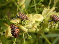 Three Graphosoma lineatum on a small plant