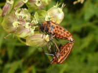 Two Graphosoma lineatum mating. Good view of their undersides