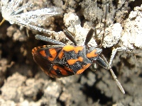Lygaeus saxatilis - Cretan Soldier Beetle on soil.