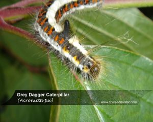 Grey Dagger (Caterpillar)